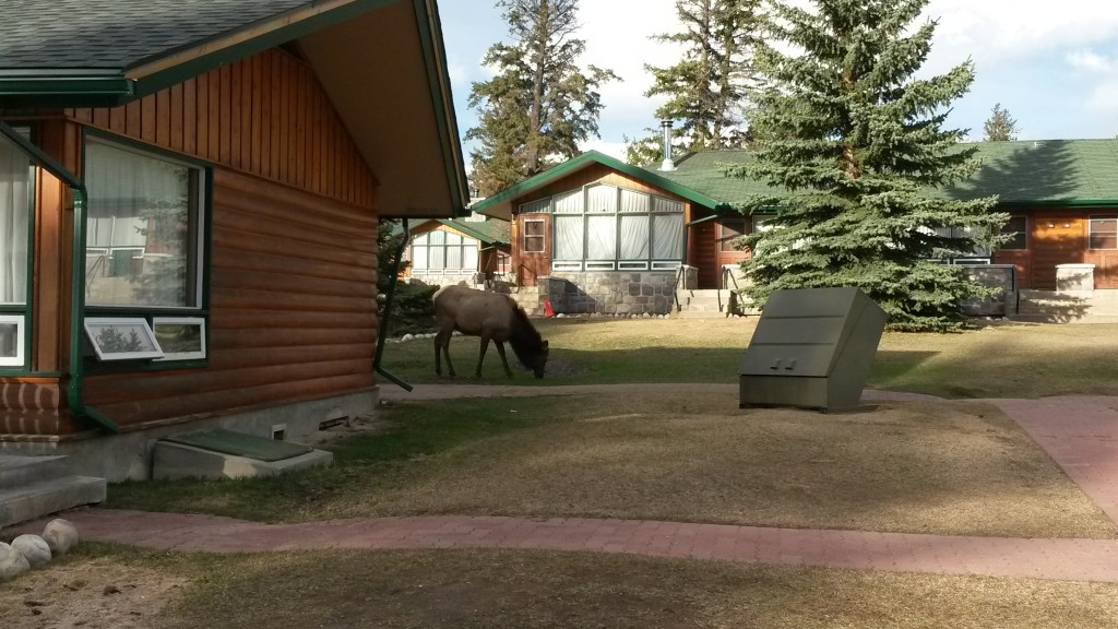 Elk at Jasper Park Lodge